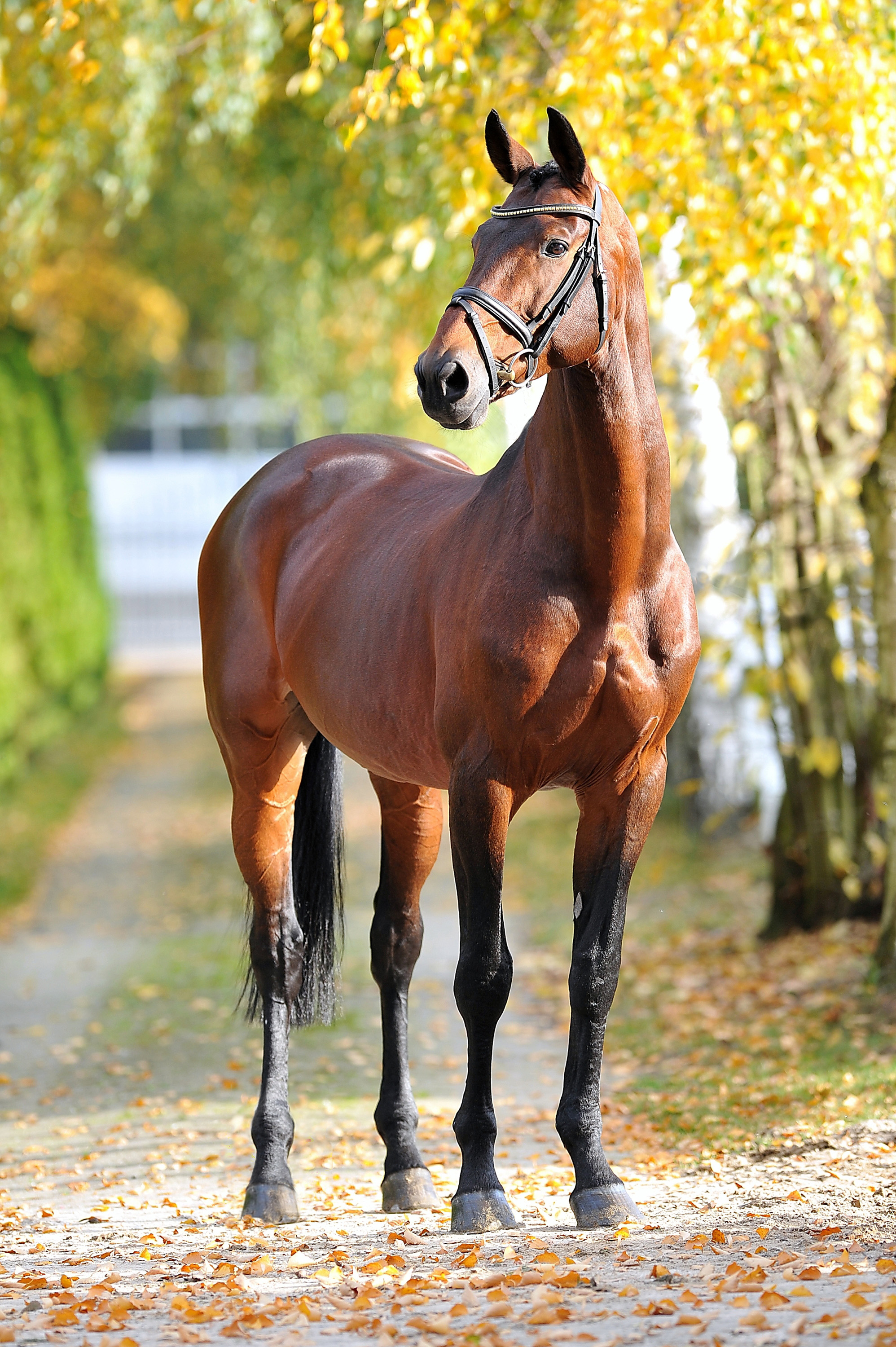 Chaman | Ludger Beerbaum Stables