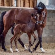 Hengstfohlen geboren am 1.1.2018 von Comme le père-Catoki, Züchterin: Roswitha Bergrath